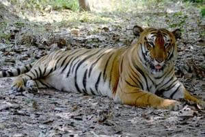 21 tiger deaths reported in 2017: It's Maharashtra's highest toll in a...