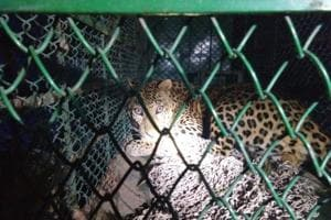 A year after a leopard was beaten to death by a mob in Mandawar village in front of officials from the forest and wildlife department, all leopards that strayed into the state's villages were rescued and released into the Aravalli forest.