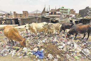 Eating polythene was cited as a reason behind the increasing cow deaths in the sanctuary in Agar-Malwa district.