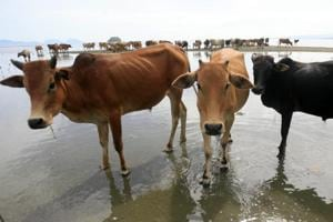 Hindustan Times travelled to the two districts to examine the workings of the illegal cow trade.