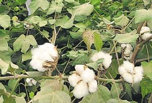 Disaster strikes: Maha farmers lose 84% cotton crop to pest attack