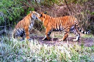 MP records one-fourth of tiger deaths in India in 2017, highest in...