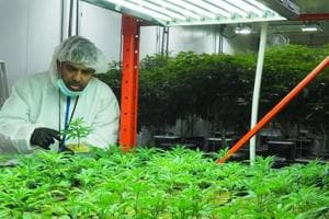 Vijay Sappani, co-founder of the cannabis startup TerrAscend Corp, in the mother room at the company's facility in Mississauga, a suburb of Toronto. Mother plants are cultivated in this room to grow wide and tall but not flower.