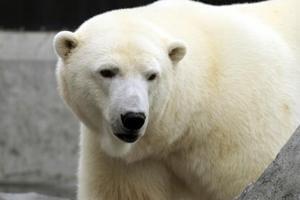 First UK polar bear in 25 years born at Scottish zoo