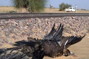 One of the vultures that was run over by a train in Jaisalmer