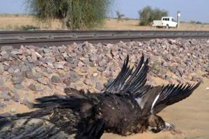 42 vulture deaths on railway tracks in Pokhran raise concern