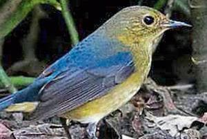 A firethroat. The 192 acres of artificial lakes and greenery comprising around 7,000 trees in south Kolkata's Rabindra Sarobar is a birders' paradise.