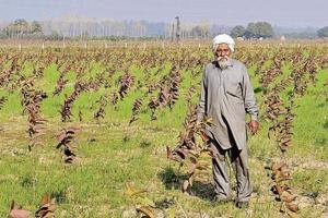 Land of wheat, paddy in Mohali turning into orchards to get better...