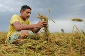 File photo of a farmer showing his damaged wheat crop due to unexpected rain in a village on the outskirts of Jalandhar.