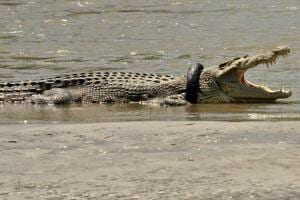 Indonesian crocodile struggles with tyre stuck around neck for two...