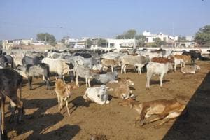 Fodder, water shortage leads to cow deaths at Bharatpur camp
