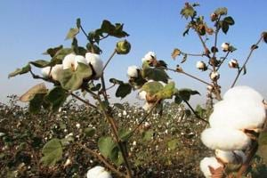 Maharashtra unlikely to deliver relief promised to cotton farmers hit...