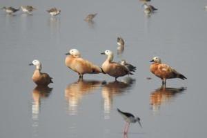 Migratory birds throng Hadauti, leave bird watchers excited