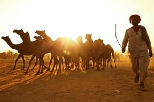 Jaipur to have a camel milk plant