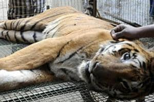 Forest officials recovered half eaten carcass of a tigress from Kisli range of Madhya Pradesh's Kanha Tiger reserve on Saturday evening.