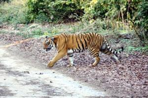 After NTCAapproval for 2 new tiger reserves, Uttarakhand forest dept...