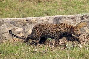 Leopard attacks two in Rajasthan's Barmer