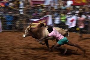Photos: Jallikattu returns to Madurai, bull gores spectator and...