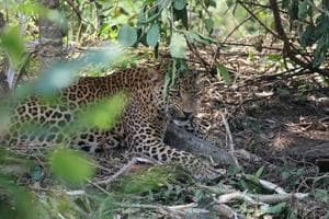 Trapped by snare, leopard rescued from farm near Mumbai