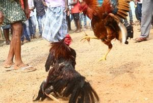 Banned, but cockfighting spikes in coastal Andhra Pradesh during...