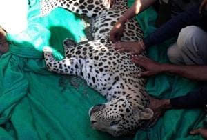 Leopard which injured 4 villagers caught in Barmer