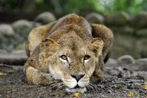 At present, the park has 21 enclosures, where endangered animals, including lions, a tiger, and a leopard among others are housed in a natural surroundings.
