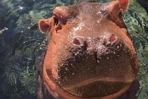 Happy birthday: Celebrity hippo Fiona turns one, gets art exhibit and...