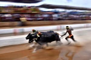 Photos: Kambala buffalo races held in Karnataka as activists solicit...