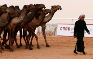 12 animals disqualified from Saudi camel beauty contest over Botox...