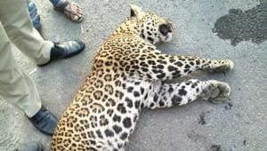 About 40% of the roadkill between 2012 and 2017  were leopards.