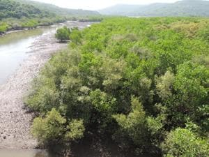 The mangroves in Ratnagiri and Sindhudurg face threats from a variety of factors.