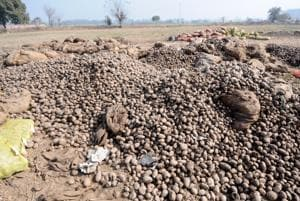 Glut: Abandoned plots turn into potato dumps