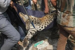 A team of police and forest officials rescue a leopard after tranquilising it in Thane, Maharashtra.