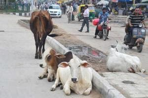 Congress to protest against stray cattle menace in Rajasthan's Bikaner