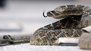Maharashtra recorded the highest number of snakebite emergency cases in 2017.