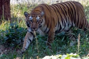 Uttarakhand forest department declares elusive tiger as 'man-eater'