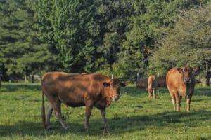 Cow escapes abattoir visit in Netherlands, crowdfunding saves her from...