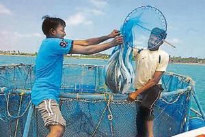 Open cage-farming catches up with fishermen in Kerala