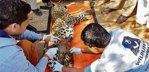 Hindustan Times had reported on February 1 that 40 leopards were killed in January alone this year. Last year, 63 leopards died in road and rail accidents.
