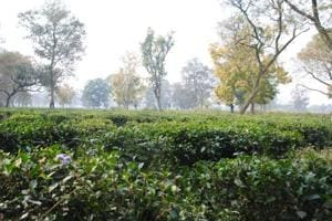 The government has done soil testing, in which an additional 6,000 hectare was found suitable for tea cultivation in the state.