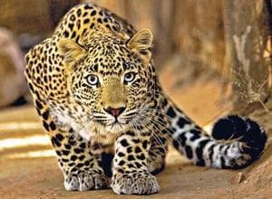 Use of dead child's blood to trap leopard: CWC summons foresters in UP