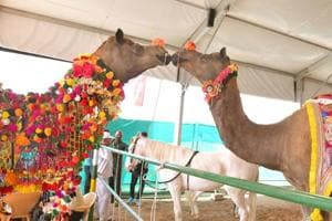 An action plan has been prepared in Rajasthan for the growth of camel population.