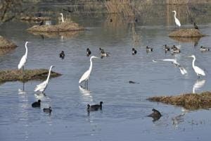 Migratory birds at the Sultanpur National Park, in Gurgaon, on Thursday.