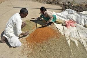 An Indian farmer couple separate grains.