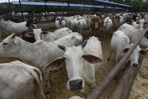 In BJP-ruled Haryana, fine on those abandoning milch cows