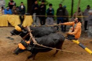 Supreme Court refuses to block Kambala buffalo race in Karnataka