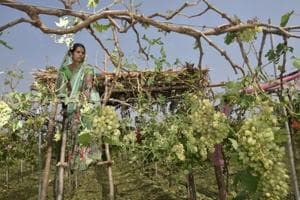 Mandodari Shelke, who lost her grape orchard due to the sudden downpour of the hailstones.