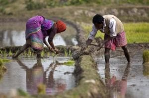 Farmers replant rice saplings in a paddy field in Assam. Between 2006-07 and 2016-17, rice alone accounted for around 17% of the total value of India's agricultural exports