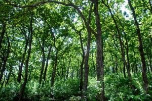'Plant trees to lower dependence on forest to achieve carbon stock...