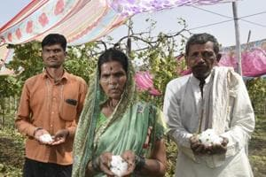 The Shelke family from Jalna district, Marathwada, lost 200 quintals of grapes on their one-­and-­a-­half acre field.